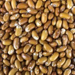 Jacob's Cattle Gold Beans