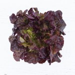 Lettuce Head (Red Oakleaf)